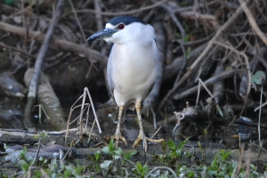 Black Crowned Night Heron 03