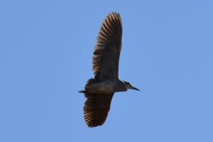 Black Crowned Night Heron [flying] 01