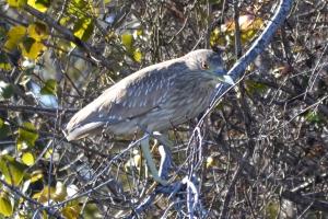 Black Crowned Night Heron Juvinile [on branch] 01
