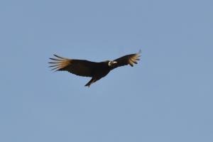 Black Vulture  01