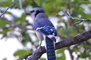 Blue Jay 04