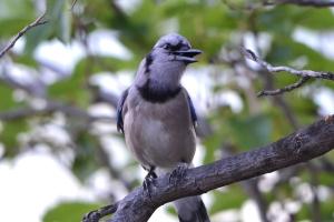 Blue Jay 07
