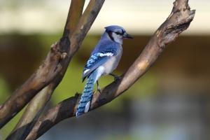 Blue Jay03