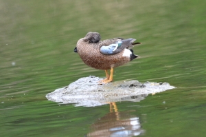 Blue Winged Teal 10
