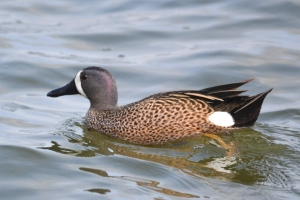 Blue Winged Teal 27