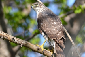 Broad Winged Hawk 03