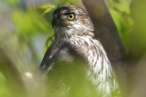 Broad Winged Hawk 07
