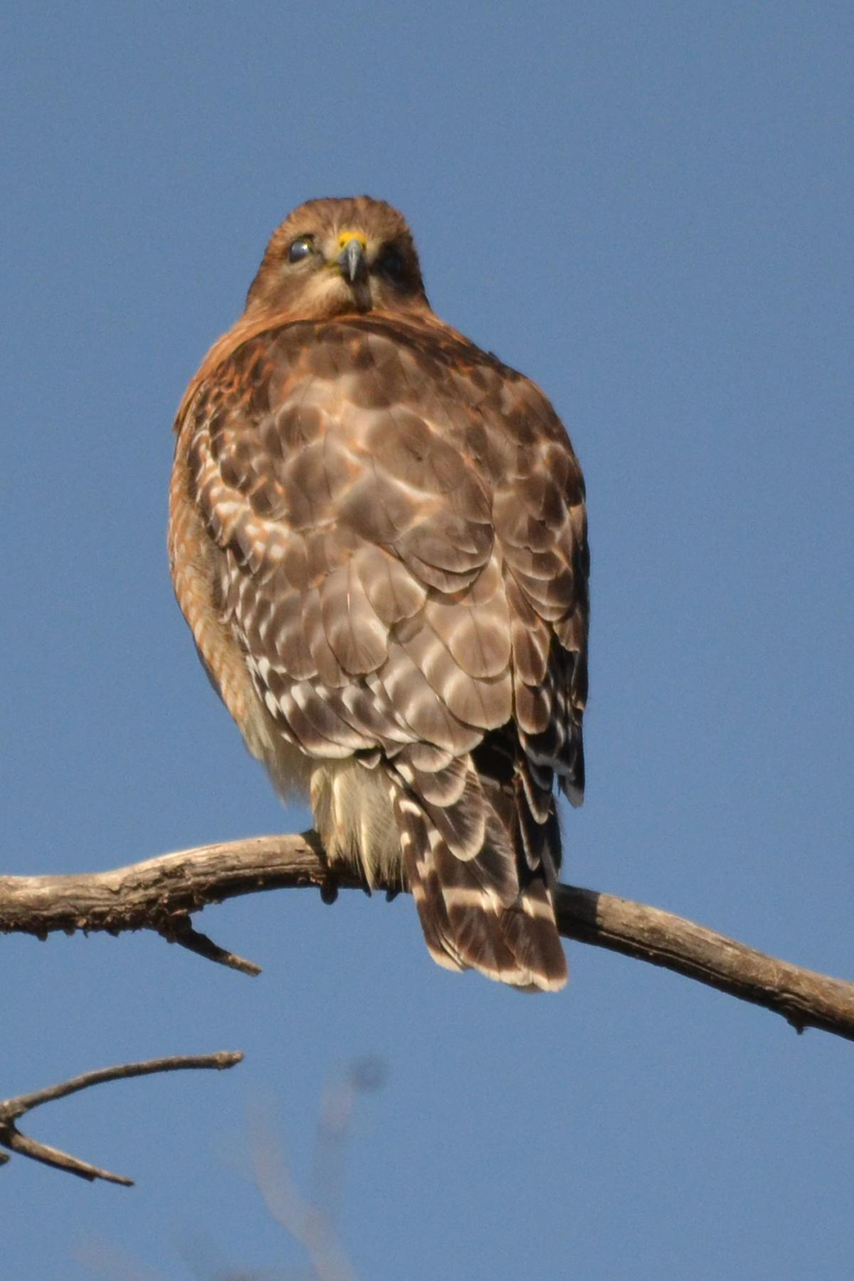 Broad Winged Hawk Heatherandkyle