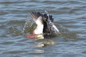 Buffelhead Duck [diving] 01