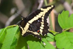Butterfly 09