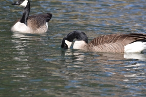 Canadian Goose  05
