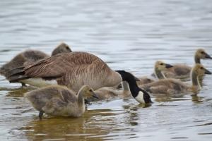 Canadian Goose 06