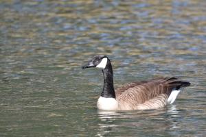 Canadian Goose  08