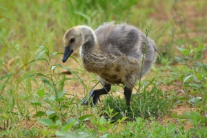 Canadian Goose 13