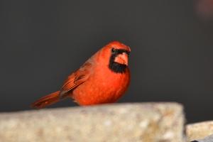 Cardinal  02