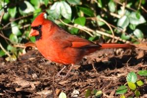 Cardinal  07