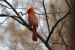 Cardinal - Male 02