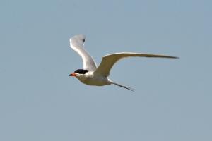 Common Tern 01