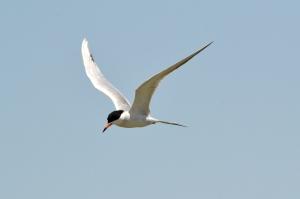 Common Tern 02