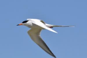 Common Tern 03