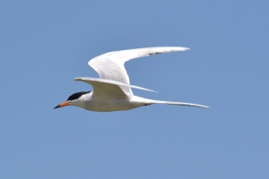 Common Tern 04