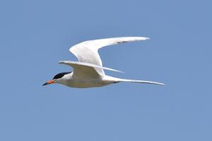 Common Tern 04