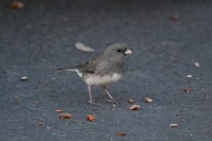 Dark Eyed Junco [on pavement] 03
