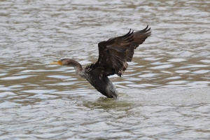 Double Crested Cormorant 01 (2)