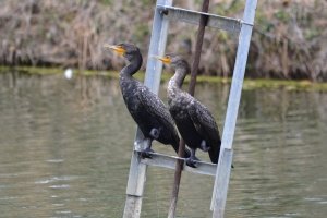 Double Crested Cormorant 02