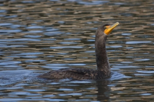 Double-crested Cormorant [Adult] 03