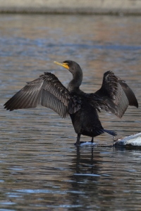 Double-crested Cormorant [Adult]