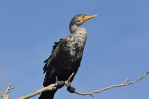 Double Crested Cormorant juvenile [on lone branch] 01