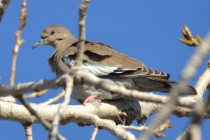 Dove - White Winged Dove [on branch] 01