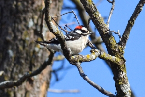 Downy Woodpecker 01
