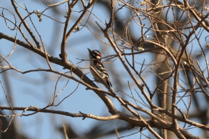 Downy Woodpecker 04
