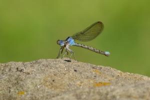 Dragon Fly 01