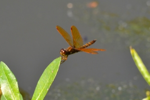 Dragon Fly 11