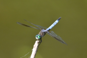 Dragon Fly 13
