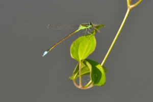 Dragon Fly 14