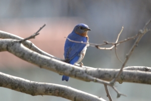 Eastern Blue Bird 01