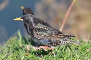 European Starling 05