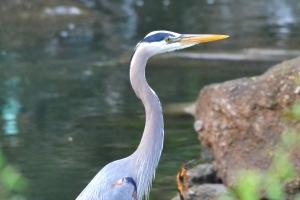 Great Blue Heron 01