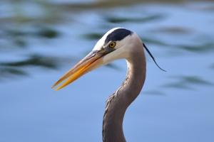 Great Blue Heron 03