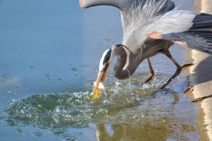 Great Blue Heron [fishing] 01