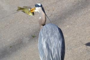 Great Blue Heron [fishing] 34