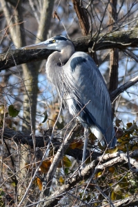 Great Blue Heron [in dense trees] 01