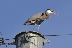 Great Blue Heron [on power lines] 01