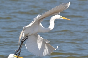 Great Egret 34