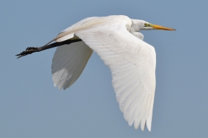 Great Egret 36