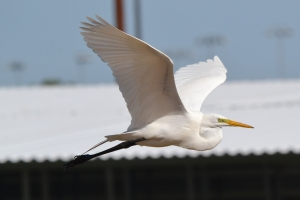 Great Egret 40